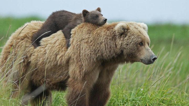 Воспитание в дикой природе Часть 2. Медведь.