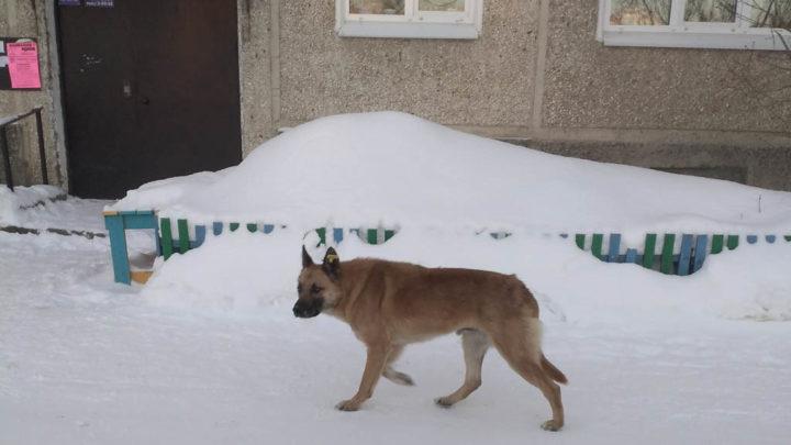 Собаки как хозяева Не секрет, что бродячие собаки несут угрозу местным жителям. Такое соседство, особенно во дворах, ну никак не устраивает.