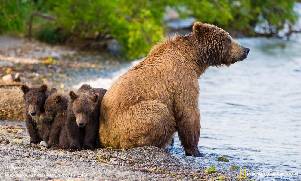 Медведи в городе. Что делать? 10 сентября популярные социальные группы Североуральска наполнились печальными новостями: в городскую черту зашёл медведь и был убит. Сотрудники полиции и местные охотники старались его прогнать из города, но у них ничего не получилось. Спустя час медведя застрелили, так как он начал движение в их сторону