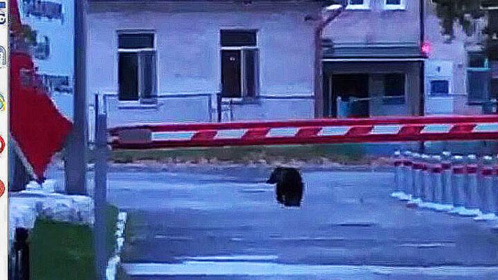 Ещё один мишка в городе