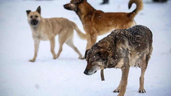 Пока никто не заявляется В прошлом году, согласно муниципальному контракту, на территории нашего округа отловлено 126 бродячих собак, 40 из них возвращено на прежнее место обитания