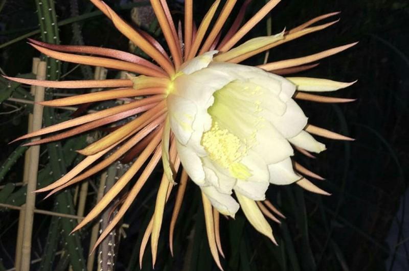 Редчайший цветок в Ботаническом саду: несколько часов радости